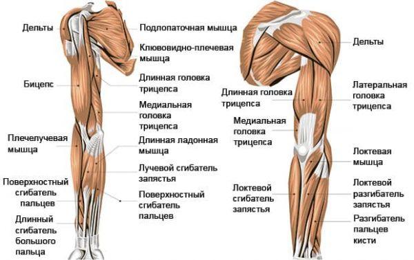 Упражнения для тренировки мышц рук